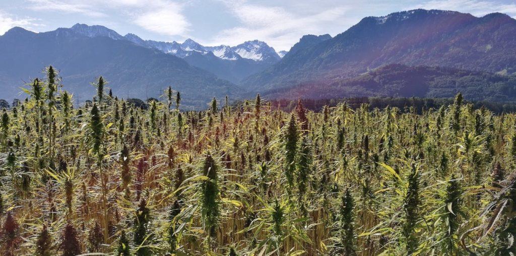 Die Geschichte von Cannabis